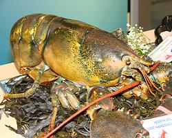 Large lobster
